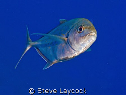 Inquisitive trevally , by Steve Laycock 